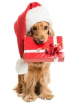 Dog in a Santa hat with a gift in mouth